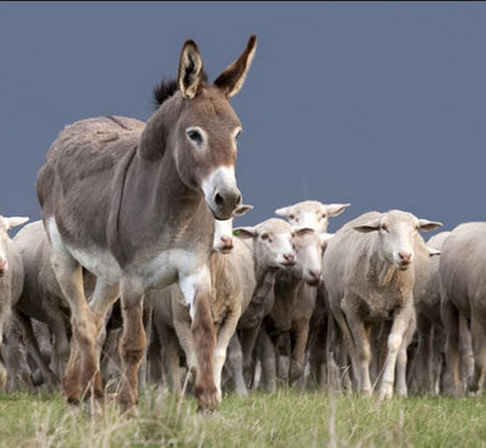 Guard Donkey with flock