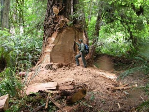 Timber Poachers of Redwood Forests