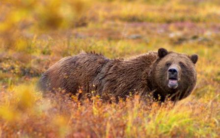 Grizzly Bear Denali